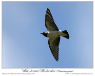 White-breasted Woodswallow (Artamus leucorynchus) by Ian