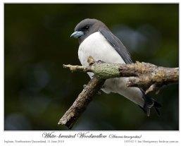 Ian's Bird of the Week – White-breastedWoodswallow