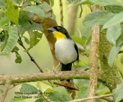White-naped Brushfinch (Atlapetes albinucha) by Kent Nickell