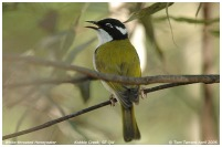 White-throated Honeyeater (Melithreptus albogularis) by Tom Tarrant