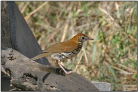 Wood Thrush (Hylocichla mustelina) by Daves BirdingPix