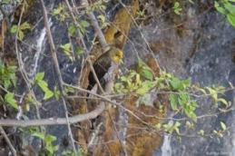 Yellow-rumped Honeyguide (Indicator xanthonotus) by A Grosset