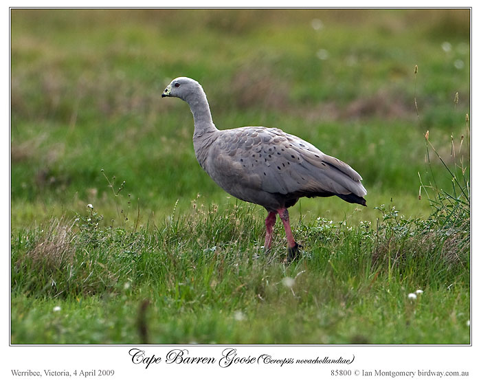 Cape Barren Goose (Cereopsis novaehollandiae) by Ian