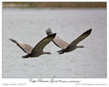 Cape Barren Goose (Cereopsis novaehollandiae) by Ian