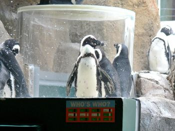 African Penguin (Spheniscus demersus) at NA by Lee