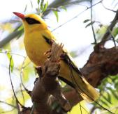 African Golden Oriole (Oriolus auratus) ©WikiC
