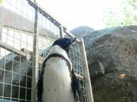 African Penguin (Spheniscus demersus) at NA
