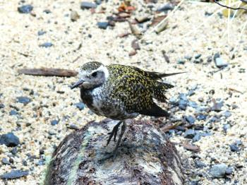 American Golden Plover (Pluvialis dominica) at NA by Lee