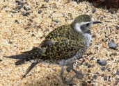 American Golden Plover (Pluvialis dominica) at National Aviary by Lee