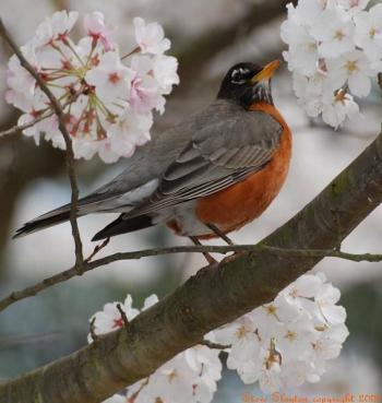 American Robin (Turdus migratorius) by S Slayton