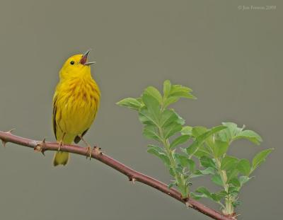 American Yellow Warbler (Setophaga aestiva) singing by J Fenton