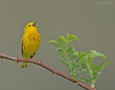 American Yellow Warbler (Dendroica aestiva) singing by J Fenton