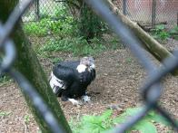 Andean Condor (Vultur gryphus) at NA by Lee