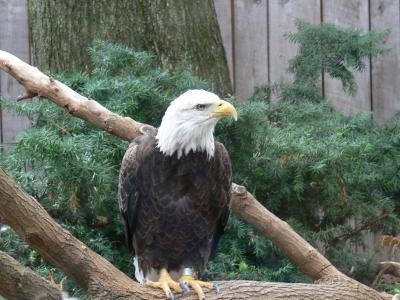 Bald Eagle (Haliaeetus leucocephalus) by Lee at National Aviary