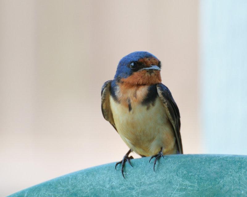Swallows   Lee's Birdwatching Adventures Plus