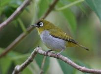 Black-capped White-eye Zosterops atricapilla by Peter Ericsson