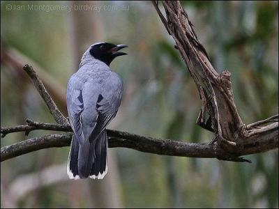 Black-faced Cuckooshrike (Coracina novaehollandiae) by Ian