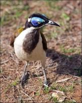 Blue-faced Honeyeater (Entomyzon cyanotis) by Ian