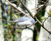 Blue-Gray Gnatcatcher at Circle B Reserve by Lee