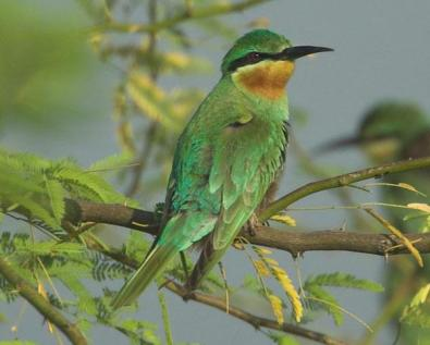 Blue-tailed Bee-eater (Merops philippinus) by Nikhil Devasar