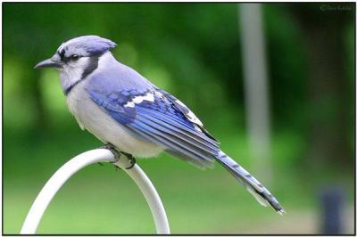 Blue Jay (Cyanocitta cristata) by Daves BirdingPix