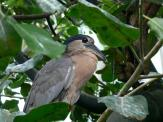 Boat-billed Heron (Cochlearius cochlearius) at NA by Lee