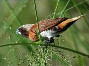 Chestnut-breasted Mannikin (Lonchura castaneothorax) ©WikiC