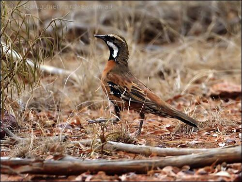 Chestnut-breasted Quail-thrush (Cinclosoma castaneothorax)  by Ian