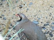 Chukar Partridge (Alectoris chukar) at NA by Lee