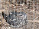 Common Nighthawk (Chordeiles minor) at National Aviary by Lee
