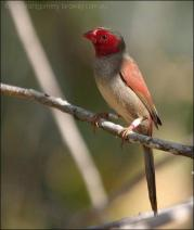 Crimson Finch (Neochmia phaeton) by Ian