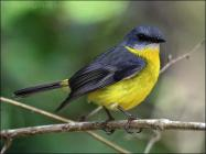 Eastern Yellow Robin (Eopsaltria australis) by Ian