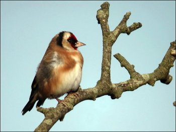 European Goldfinch (Carduelis carduelis) by Ian