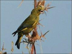 European Greenfinch (Carduelis chloris) by Ian