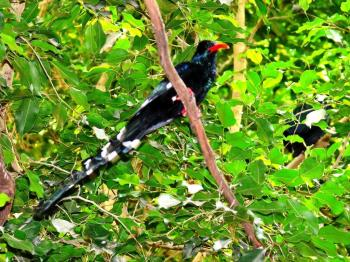 Green Wood Hoopoe (Phoeniculus purpureus) by Lee at NA