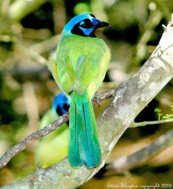 Green Jay (Cyanocorax luxuosus) by S Slayton
