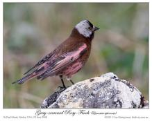 Grey-crowned Rosy Finch (Leucosticte tephrocotis) by Ian