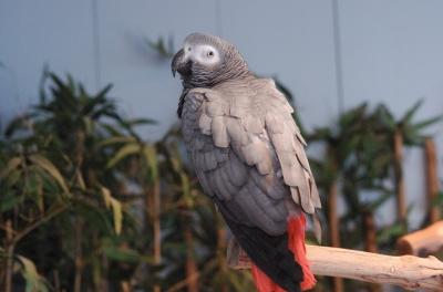 Grey Parrot (Psittacus erithacus) by Dan