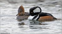 Hooded Merganser (Lophodytes cucullatus) by Ray