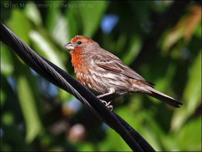 House Finch (Carpodacus mexicanus) by Ian