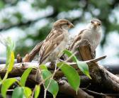 House Sparrows visiting National Aviary Parrot Show by Lee