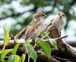 The Brave Brown Sparrows InWinter