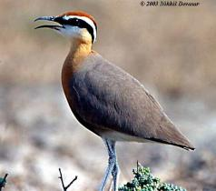 IndianCourser (Cursorius coromandelicus)
