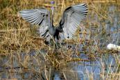 Little Blue Heron (Egretta caerulea) By Dan'sPix