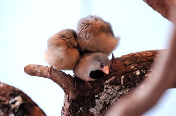 Long-tailed Finch youngsters by Dan