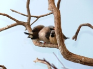 Long-tailed Finch (Poephila acuticauda) babies by Lee at National Aviary