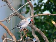 Long-tailed Finch (Poephila acuticauda) (Shaft-tailed)