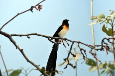Long-tailed Paradise Whydah by Dan