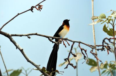 Long-tailed Paradise Whydah by Dan at the National Aviary