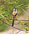 Long-tailed Shrike (Lanius schach) by W Kwong